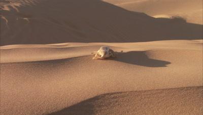 Sandfish Skink In Desert, Scurries Toward Camera, Buries Itself