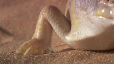 Sandfish Skink In Desert, focus on Foot, Leg