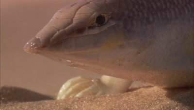 Sandfish Skink Portrait, In Desert