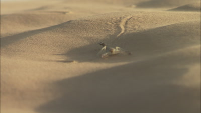 Scorpion Crawls Over Sand Blown by Wind