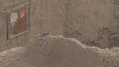 Agama Lizard Crawls on Stone Structure of Mosque