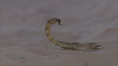 Scorpion Scurries Across Sand In Desert