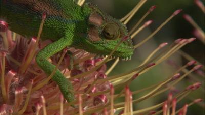 Chameleon Climbs Between Protea Flowers