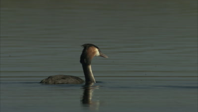 Bird, Possibly Grebe, Dives
