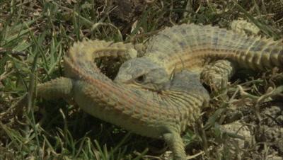 Pair of Lizards Fighting