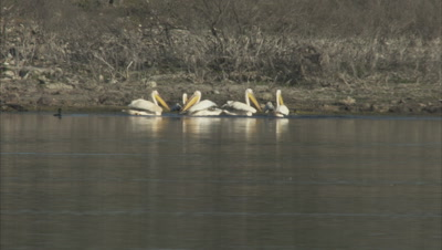 White Pelicans Landing In Water