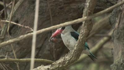 Kingfisher, Possibly Mangrove Kingfisher, Kills Crustacean in it's beak