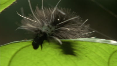 Very Hairy Caterpillar Crawling On A Leaf
