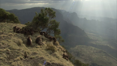Gelada Monkeys On Cliff Edge