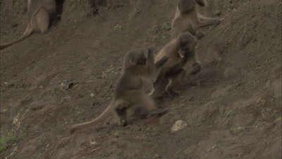 Young Gelada Monkeys Playing