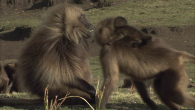 Gelada Monkeys, one with baby, walk male, male chases others