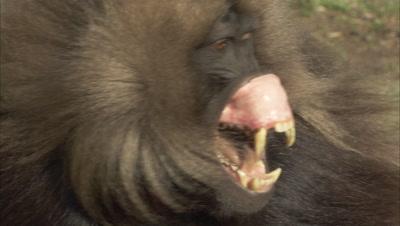 Gelada Monkeys Display Teeth, Vocalizing