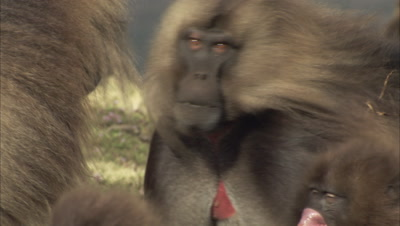 Gelada Monkey, Big Males Stare at Each other
