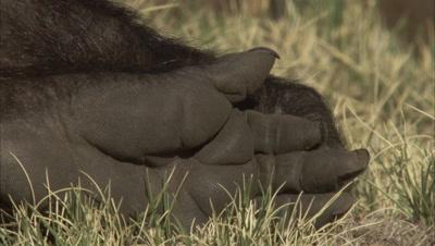 close up Gelada Monkeys Hand