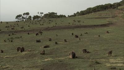 Large Gelada Monkey Supertroop Grazes in Grass Landscape