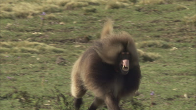 Male Geladas Chase Each Other