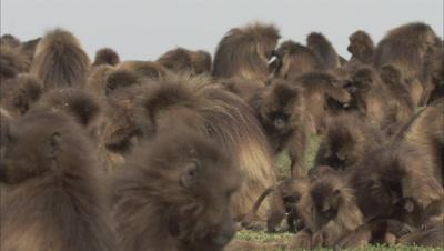 Gelada Monkey Supertroop, Grooming Each Other
