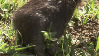 Gelada Picking Grass,Close-Up