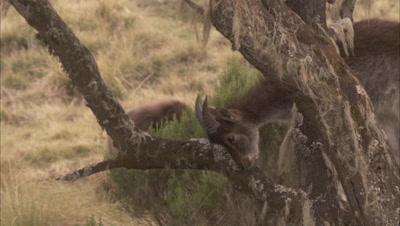 Ibex Climbs in tree feeding on lichen