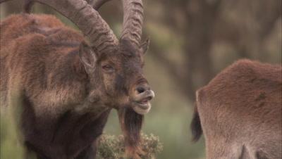 Ibex, Male smells Female for receptiveness, Possibly Walia ibex