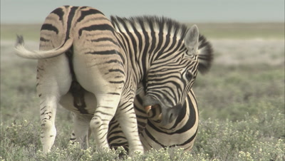 Slow Motion, Zebras Fighting