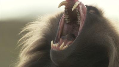Gelada Yawns, Shows Large Teeth, Looks Sleepy