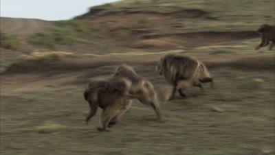 Gelada Monkeys running