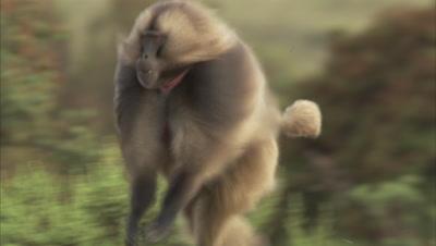 Gelada Monkey Running, Hair Flowing Behind