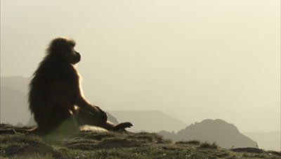 Gelada Sits On Edge of Cliff