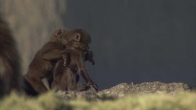 Very Young Gelada Monkeys Westle, Play