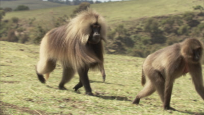 Gelada Troop Walks near forest