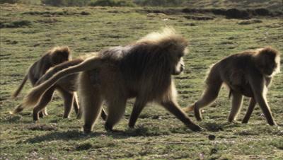 Gelada Monkeys Walk Over Grass, Some Carrying Babies