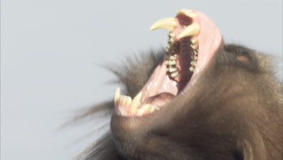 Gelada Monkey Portrait, threat display by curling upper lip