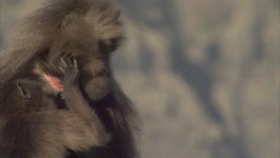 Gelada Monkeys Grooming
