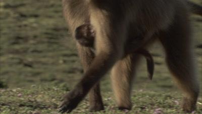 Gelada Monkey Carries Baby
