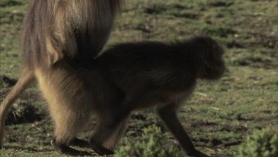 Gelada Monkeys Mating