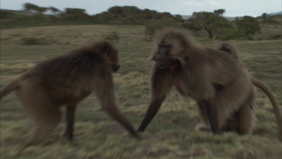 Gelada Monkeys fight then Groom