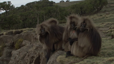 Gelada Monkeys Sit On Cliff Edge, Pan to Another Group
