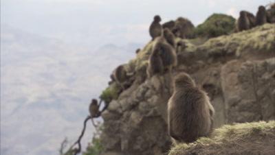 Gelada Monkeys Rest on Cliff Edge