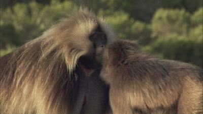 Slow Motion, Large Male Gelada Monkey Displays