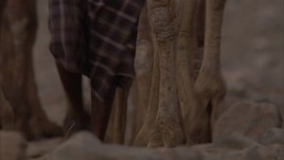 Danakil Cameleer Leads Camels Carrying Salt from Mines, Close up legs and feet