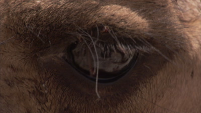 Close up Camel Eye, Long Lashes
