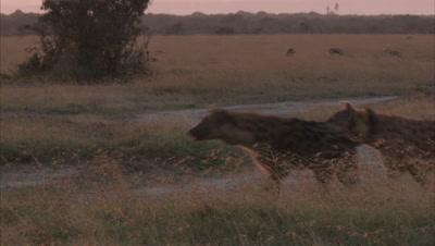 Hyenas In Forest