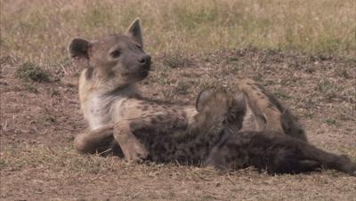 Female Hyena Feeding Cubs