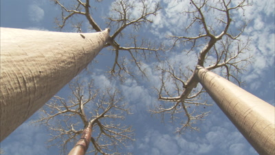 Baobab Trees In Forest
