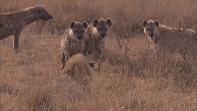 Lion And Hyenas In A Grassland