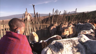 Masaai People Milking A Cow