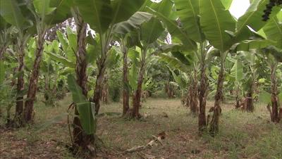 Manyara Banana Cultivation