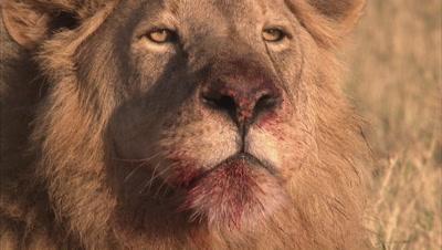Lion Eating Dead Animal