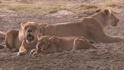 Lion Family Resting